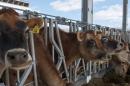 UNH cows