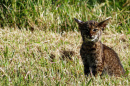 A young bobcat at the Mattamuskeet National Wildlife Refuge in North Carolina.