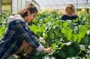 Harvesting broccoli at Woodman Farm