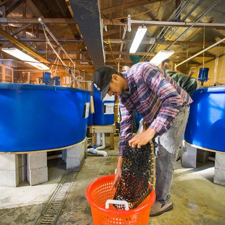 UNH student Ashu Roa empties the tilapia into a basket