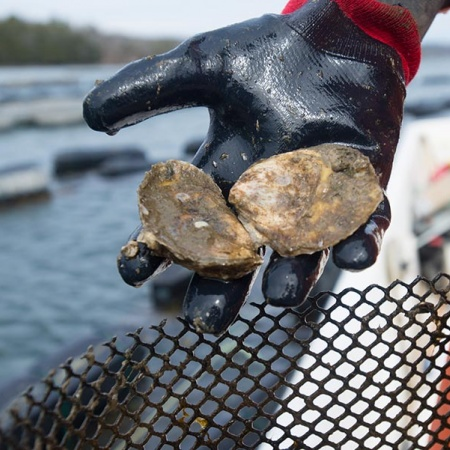 oysters from Gulf of Maine