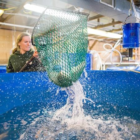 UNH student harvesting UNH-grown tilapia