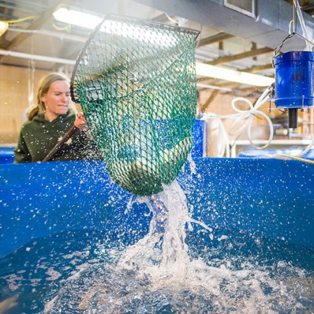 UNH student harvesting UNH-grown tilapia