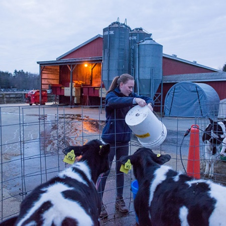 UNH Thompson School student feeding cows