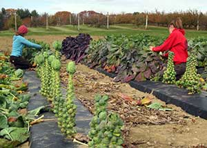 Brussels sprouts growing at UNH research farm