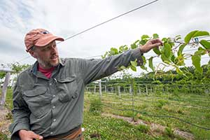 kiwiberry vines growing at UNH research farm