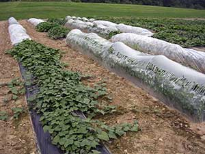 sweet potatoes growing at a UNH research farm