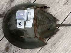 Horseshoe crab fitted with accelerometer