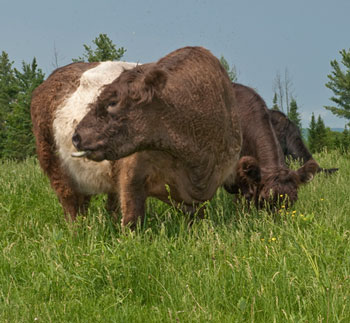 Belted Galloway cattle graze in the fields near Kris and Bert von Dohrmann's farm
