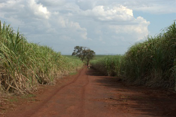 The soil, terra ['te xa] in Portuguese, is red like chili powder. The juxtaposition of terra and the green of the sugar cane were a breathtaking sight and a memory I will always have of my time in Brazil!