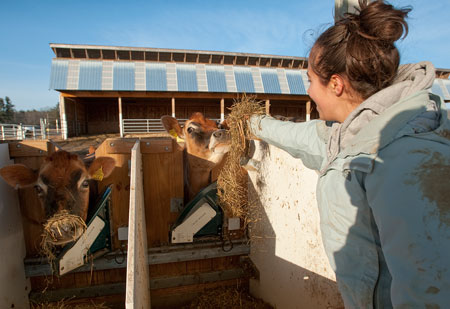 Géraldine Walker, a dual major in sustainable agriculture and food systems and ecogastronomy, helps feed cows in the nutrition study.