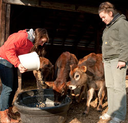 (l to r) Emily Cooper, a dual major in wildlife ecology and ecogastronomy, feeds the Jersey steers along with Lisa Ilsley, a dairy management major.