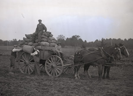 UNH potato harvest, historic